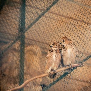 Two owls together
