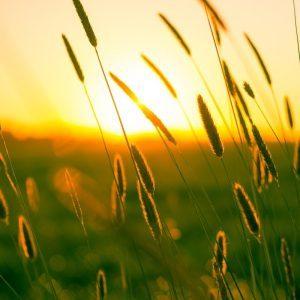Wheatfields in the sun