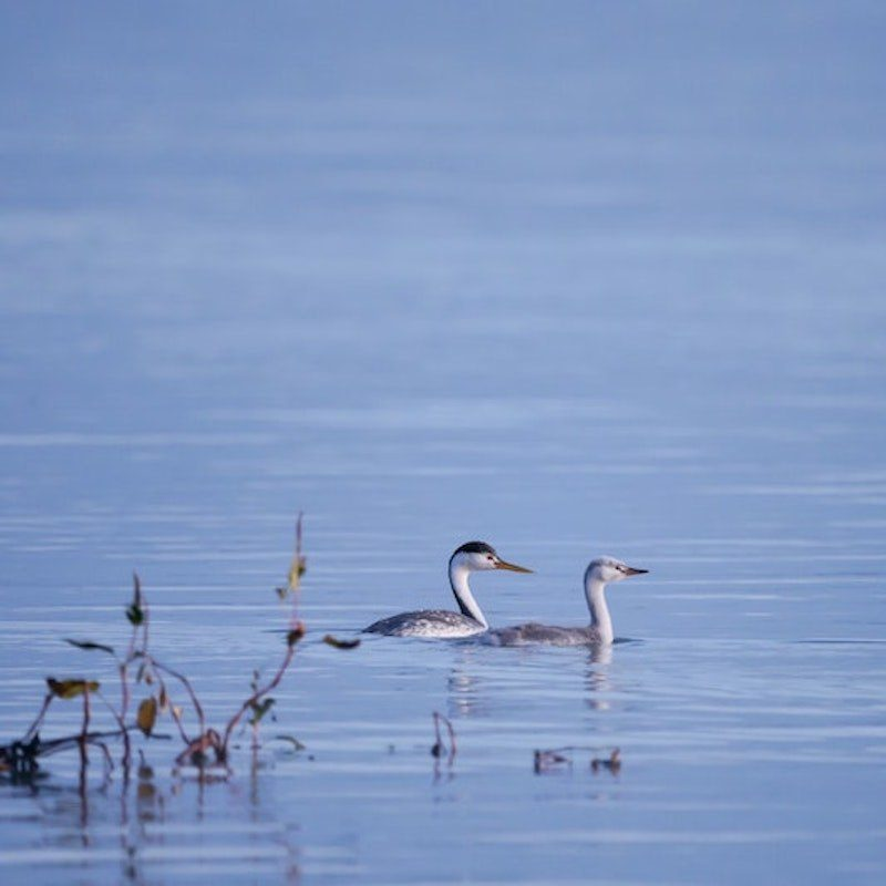 Two birds in calm, blue water
